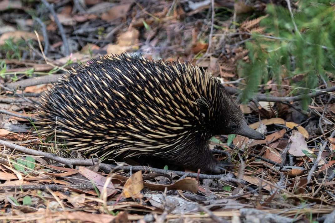 Wildlife of the Grampians - Echidna