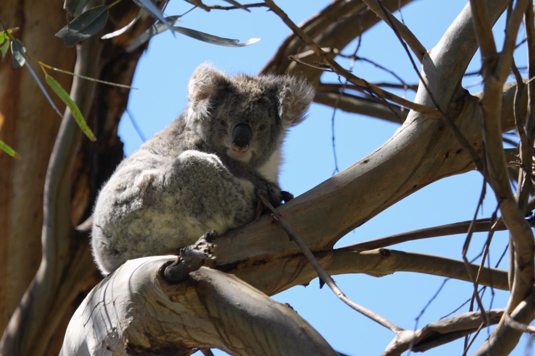 You Yangs Koala