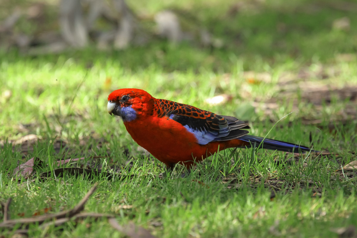Crimson Rosella - The Grampians Wildlife