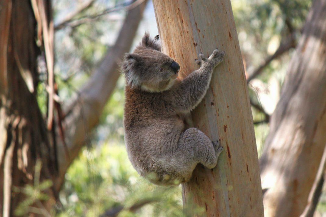 Koala in the Great Otway National Park