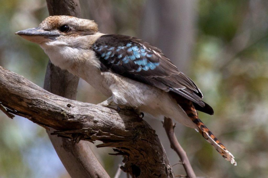 Laughing Kookaburra