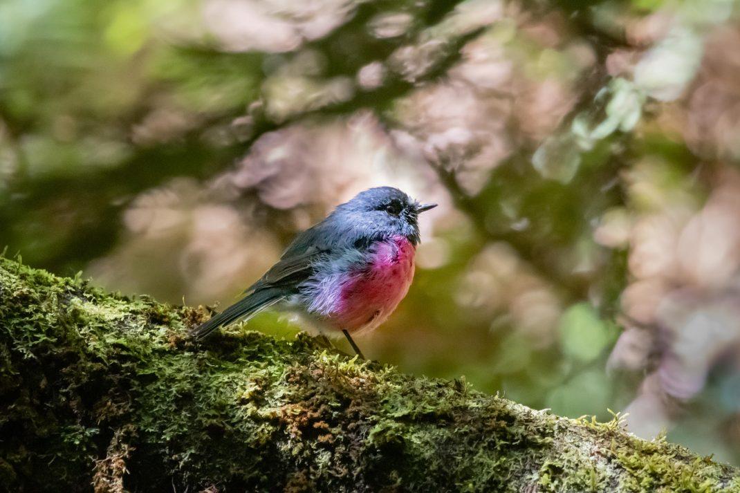 Pink Robin at Erskine Falls