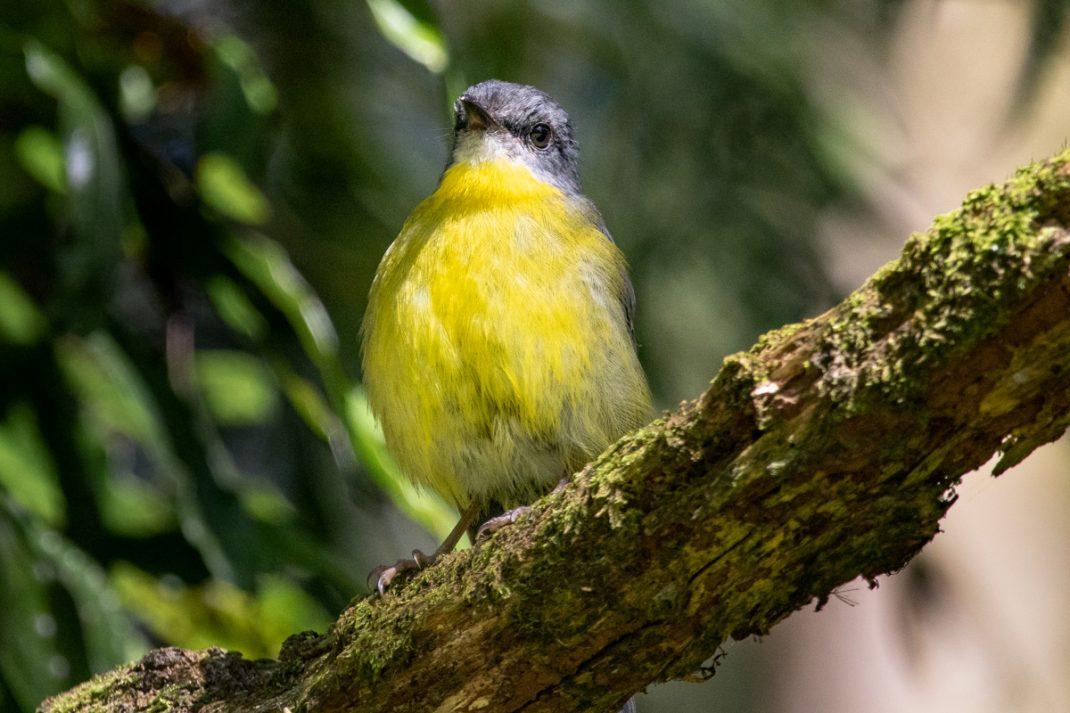 Eastern Yellow Robin at Lake Elizabeth