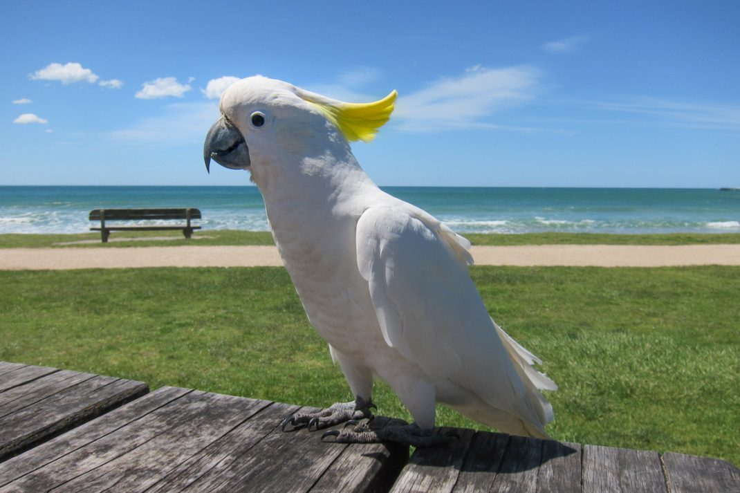 Sulphur-Crested Cockatoo at Lorne Beach