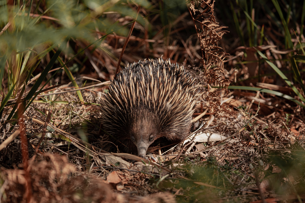 Echidna in the Grampians