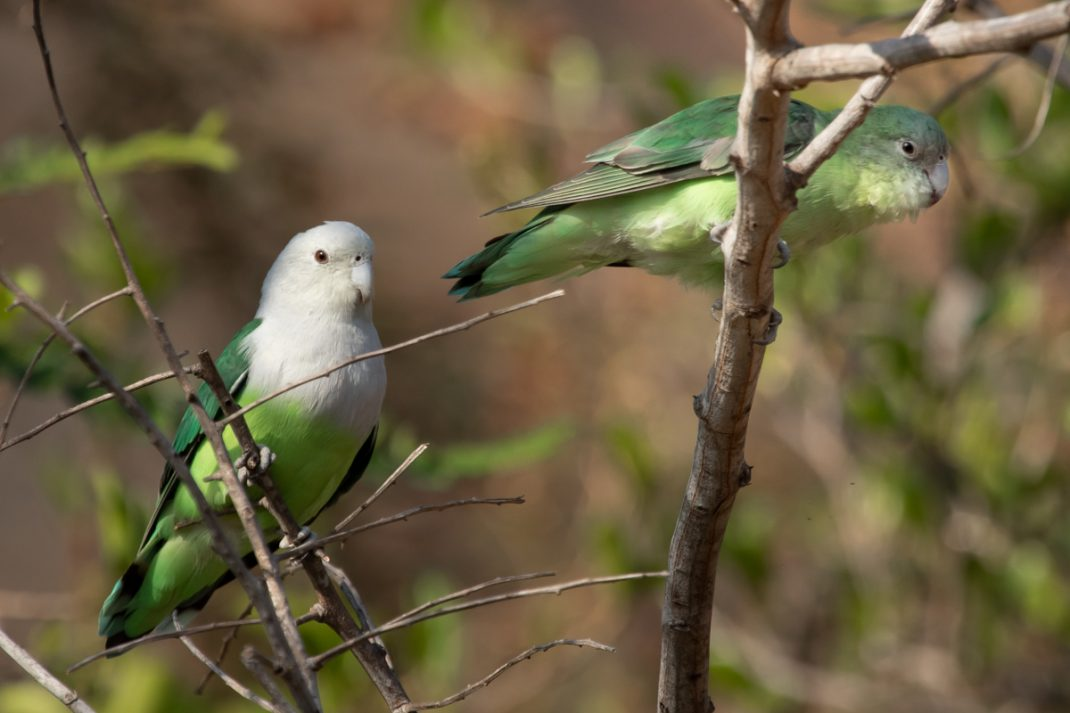 Grey-Headed Lovebirds, Ankarafantsika National Park