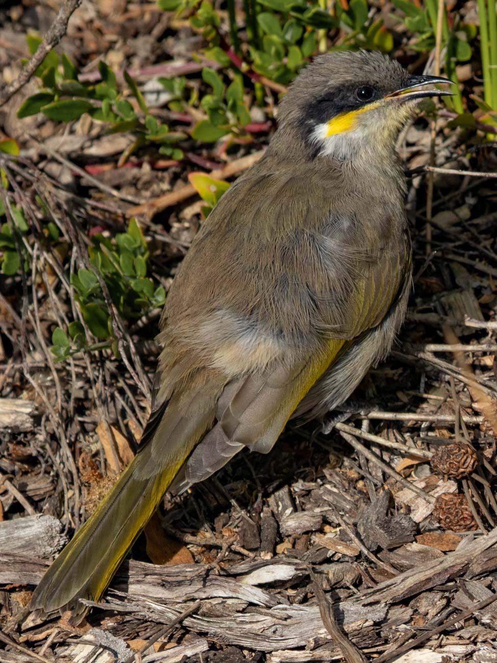Singing Honeyeater - The Great Otway National Park