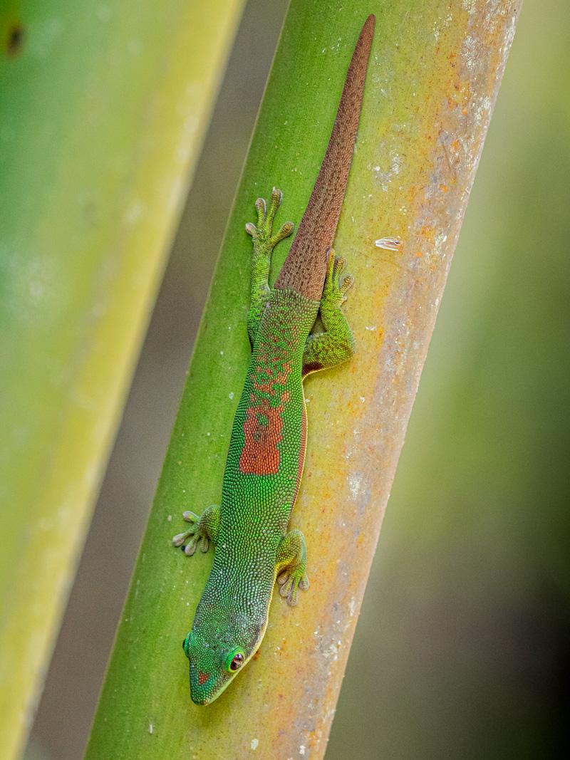 Day Gecko, V.O.I.M.M.A Community Reserve