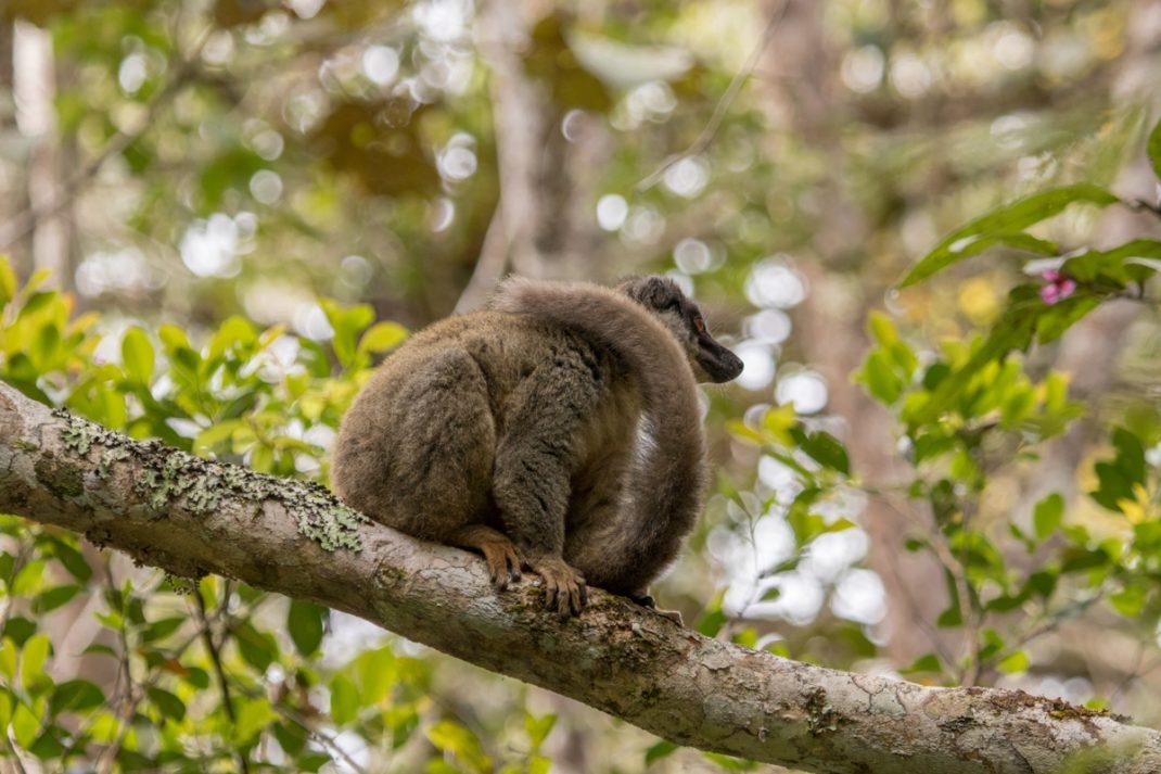 Common Brown Lemur, Andasibe