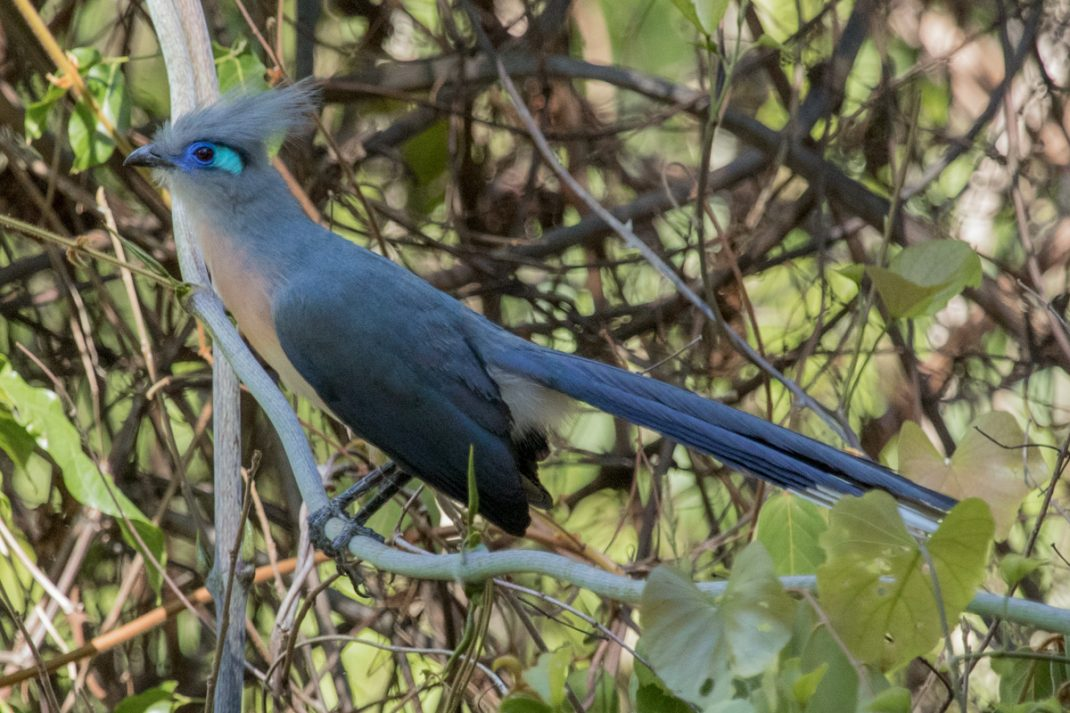 Crested Coua, Ankarafantsika National Park