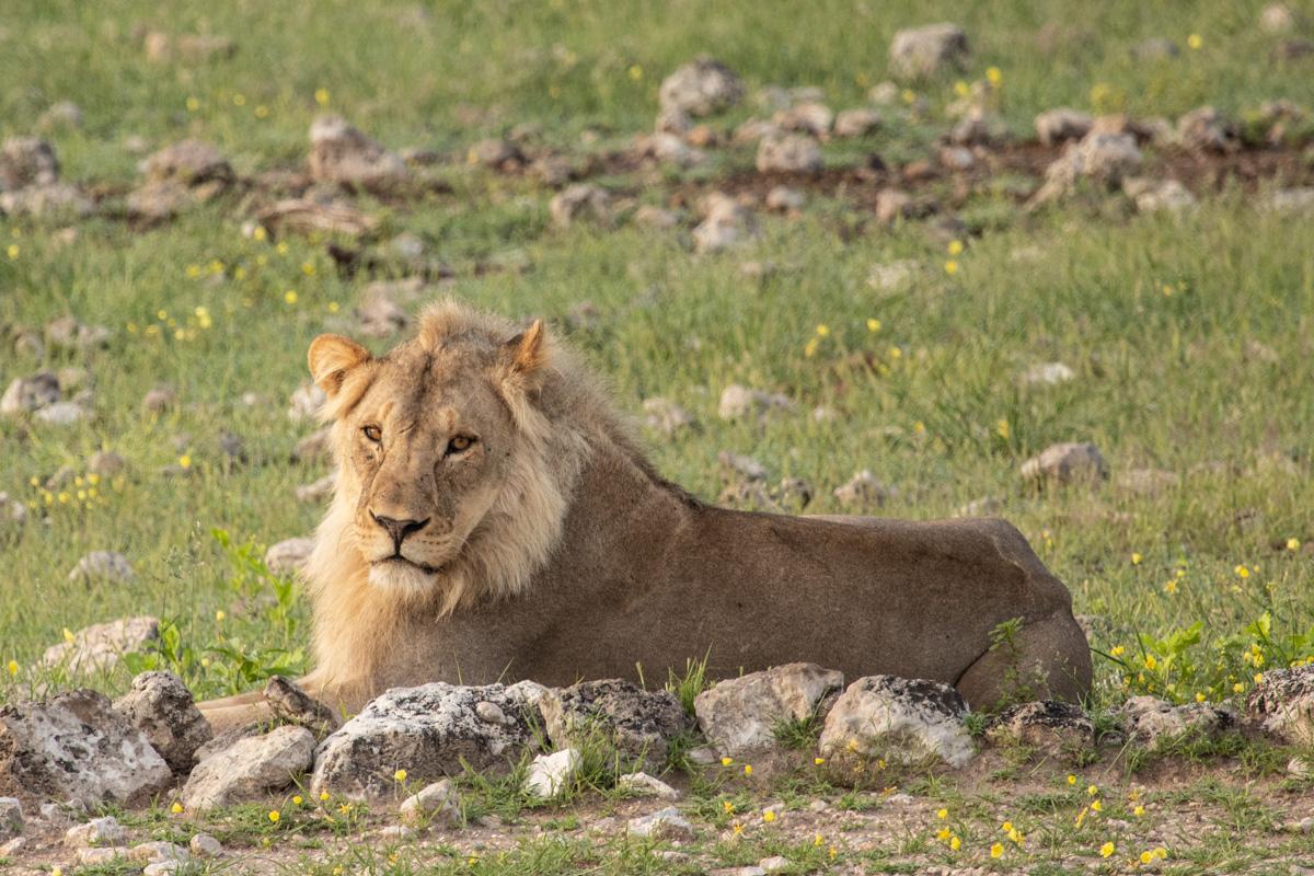 Young male Lion, Etosha National Park