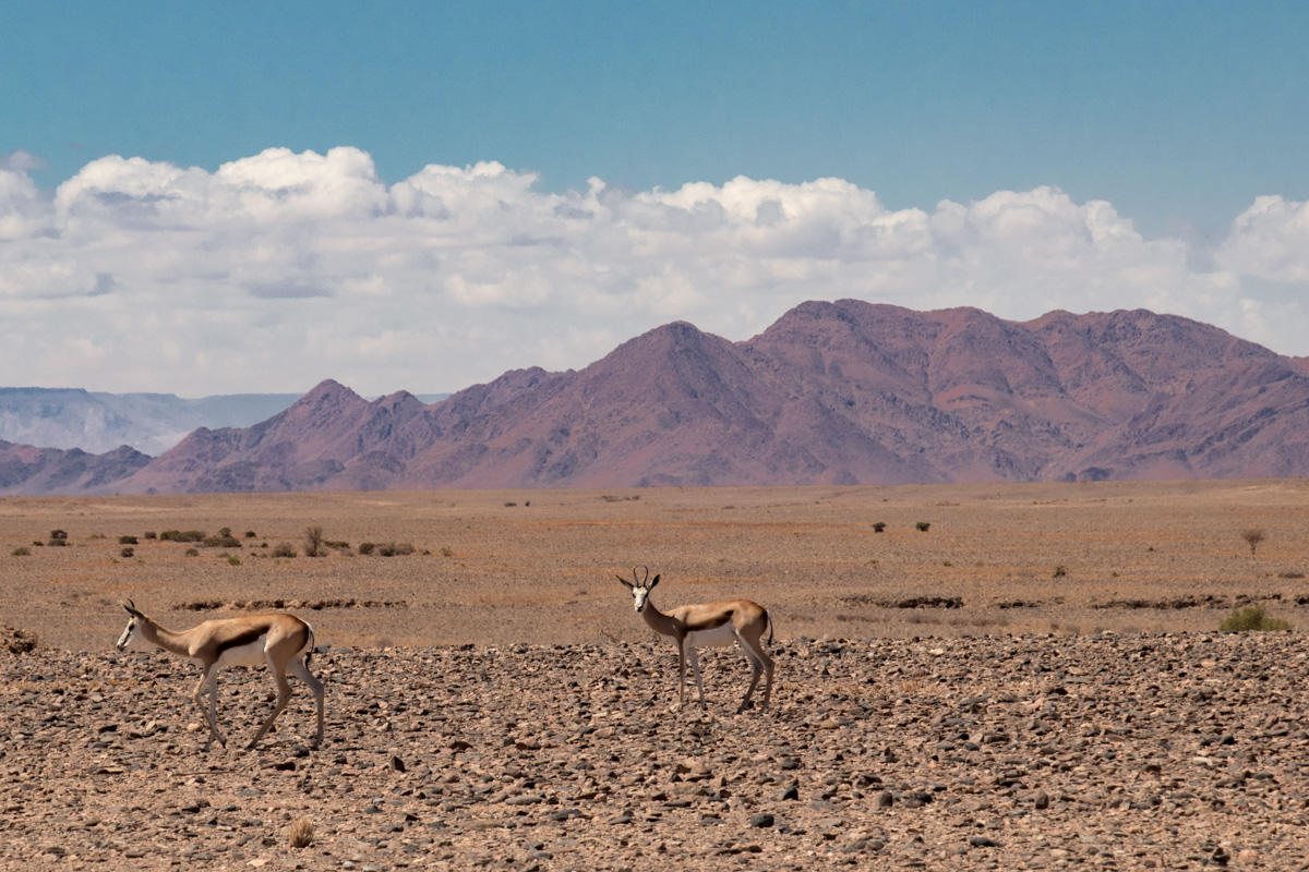 Springbok in namib-naukluft national park