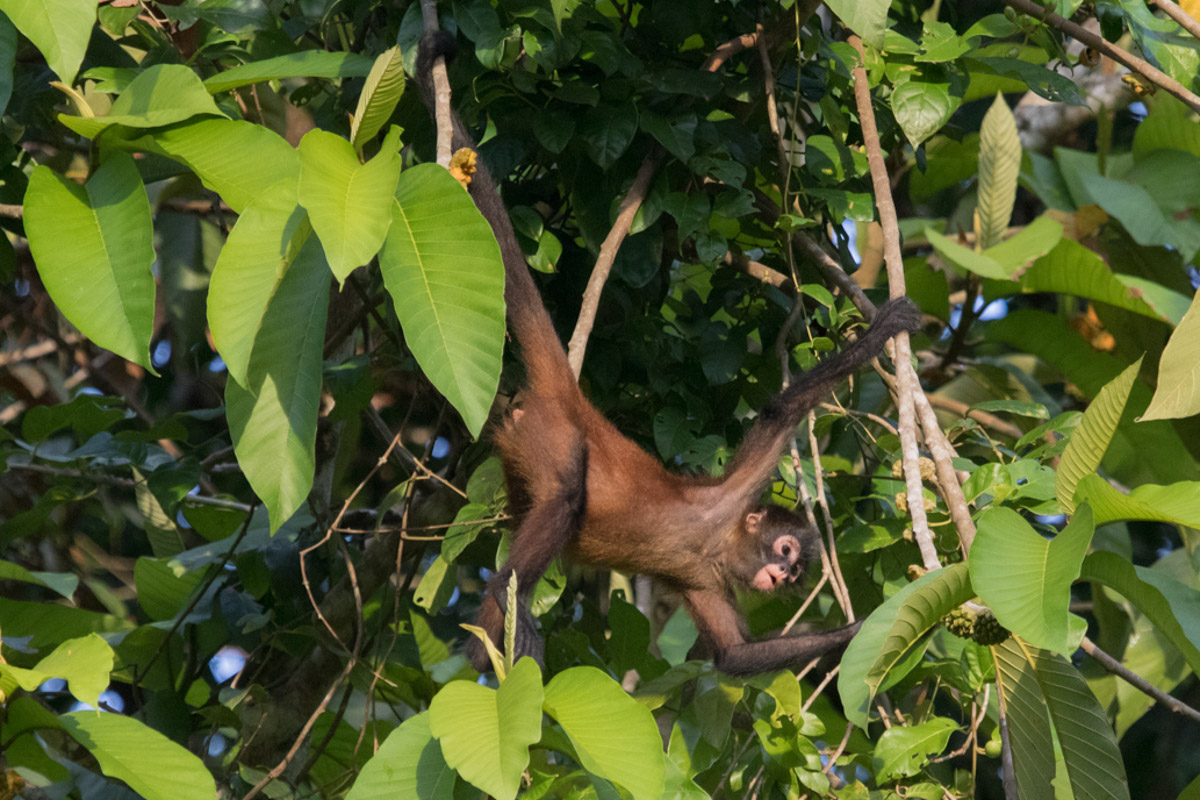 Corcovado National Park - Geoffroy's Spider Monkey