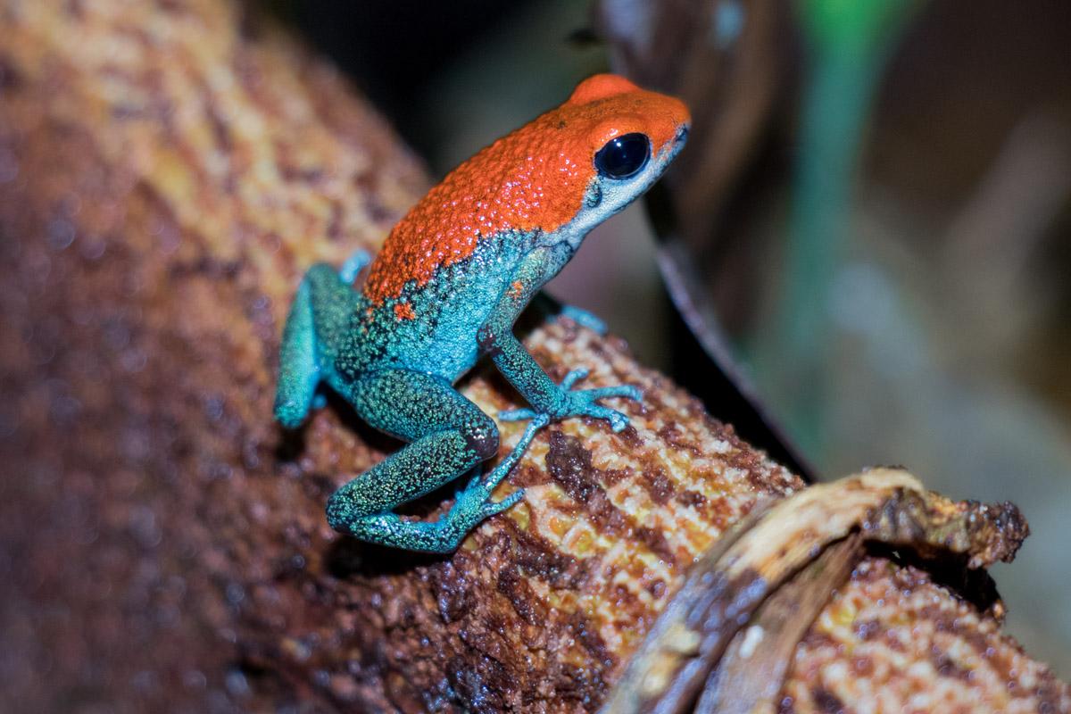 Granular Poison Frog, Drake Bay