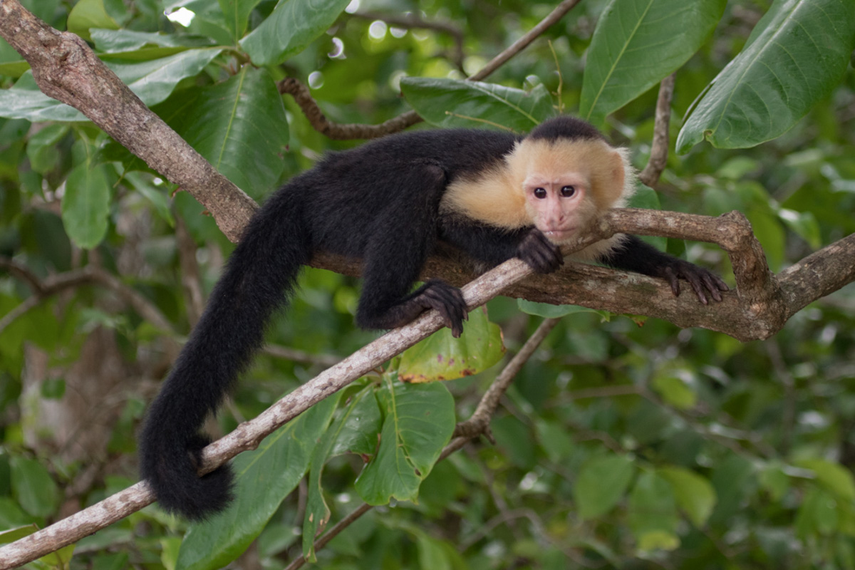 White-faced Capuchin - Corcovado National Park