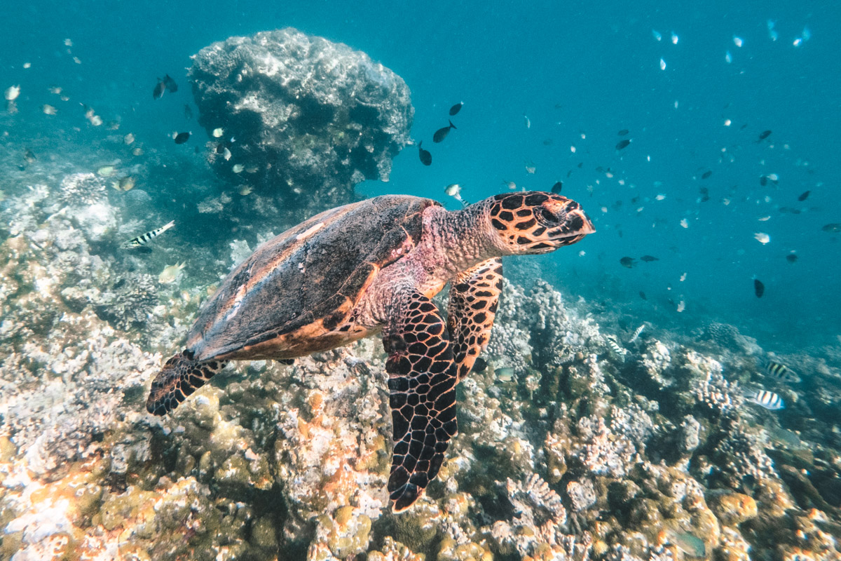 Hawksbill Turtle - Sailing the Maldives