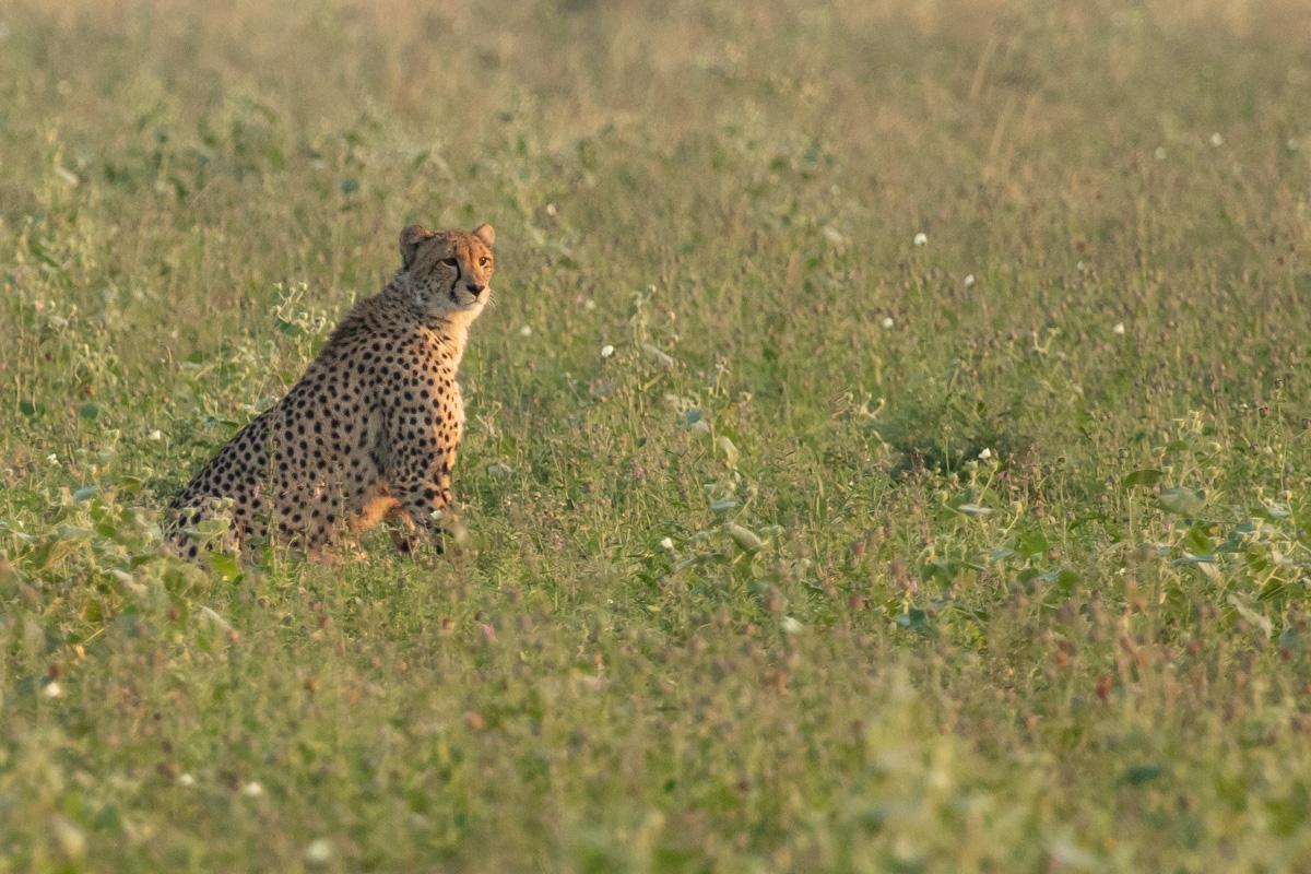 Cheetah at sunrise - Kruger National Park