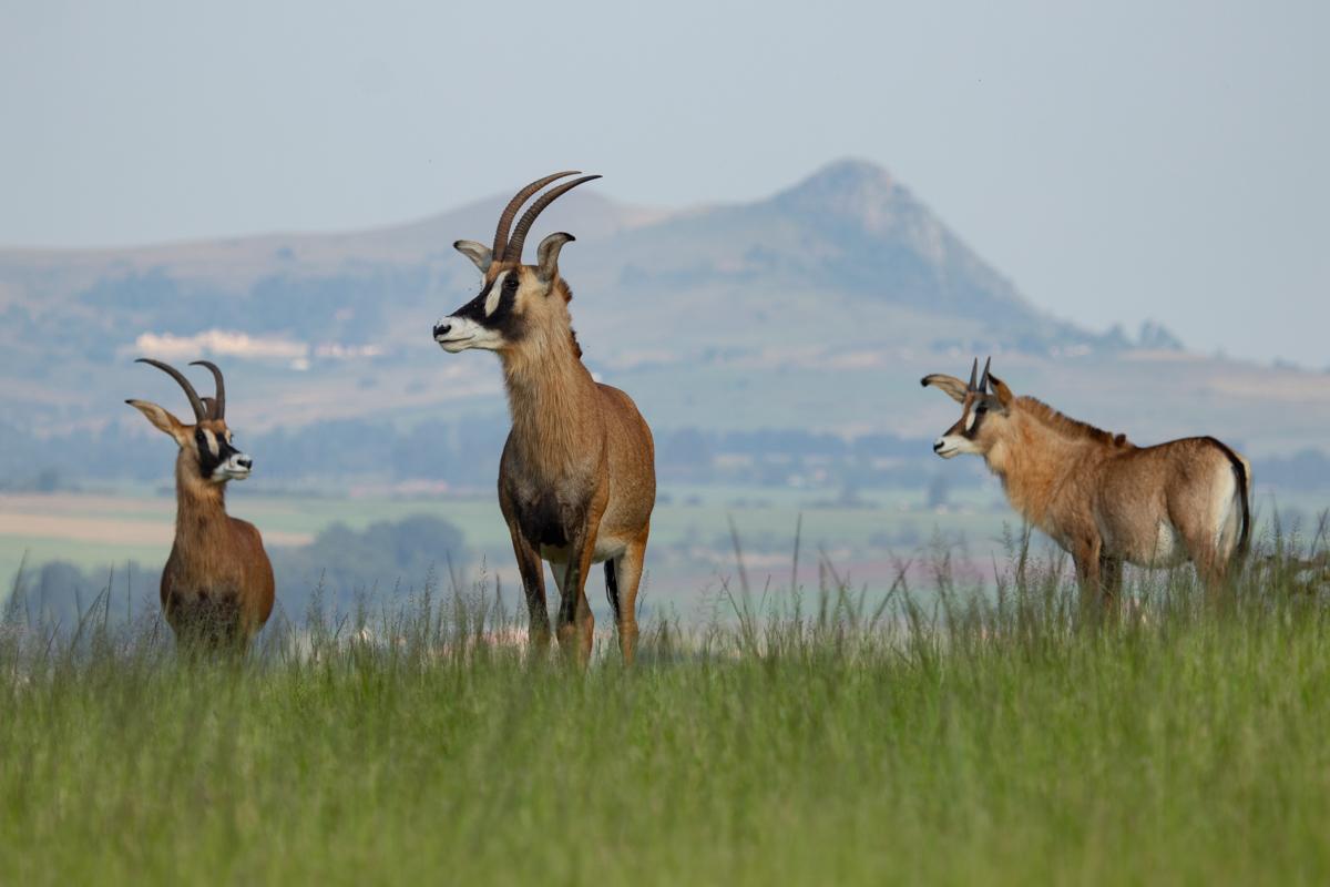 Roan in Mlilwane, Swaziland