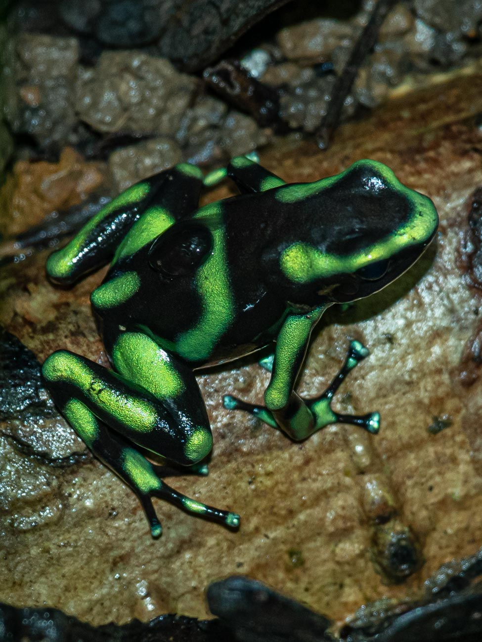 Green and Black Poisonous Frog