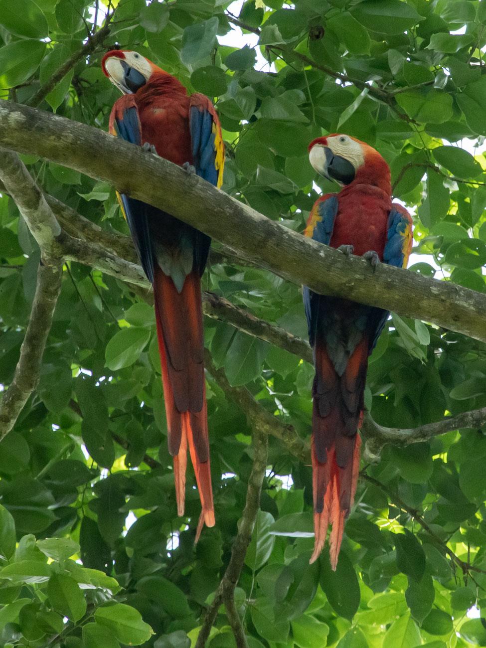 Scarlet McCaws - Corcovado National Park