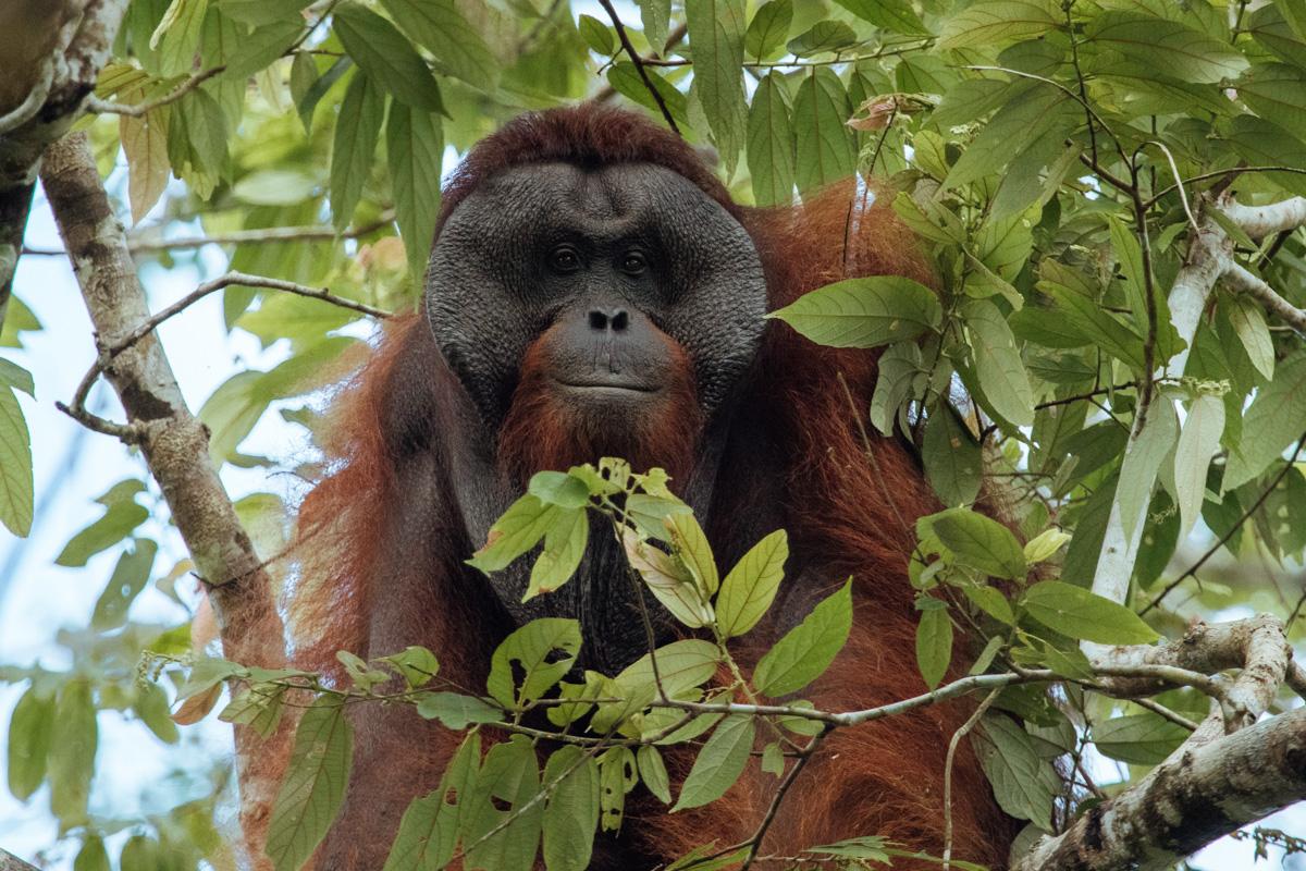 Malaysia - Orangutan Borneo