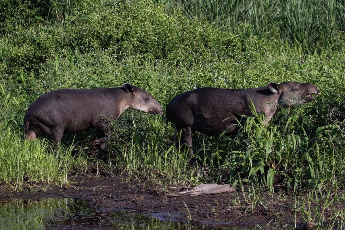 Two Bairds Tapir, Corcovado National Park