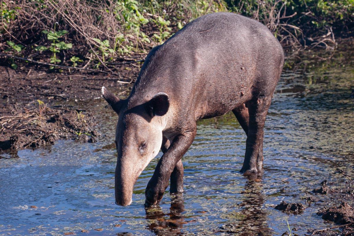 A Bairds Tapir, Corcovado National Park