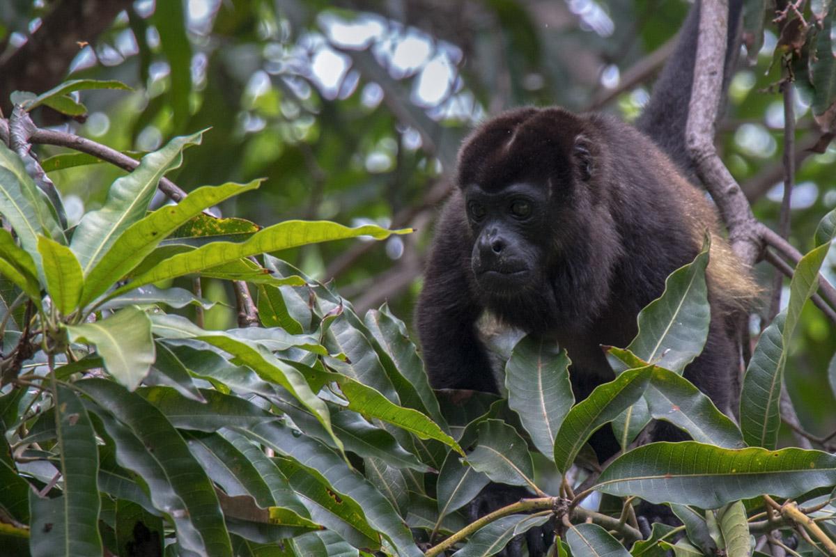 Mantled Howler Monkey - Manuel Antonio National Park