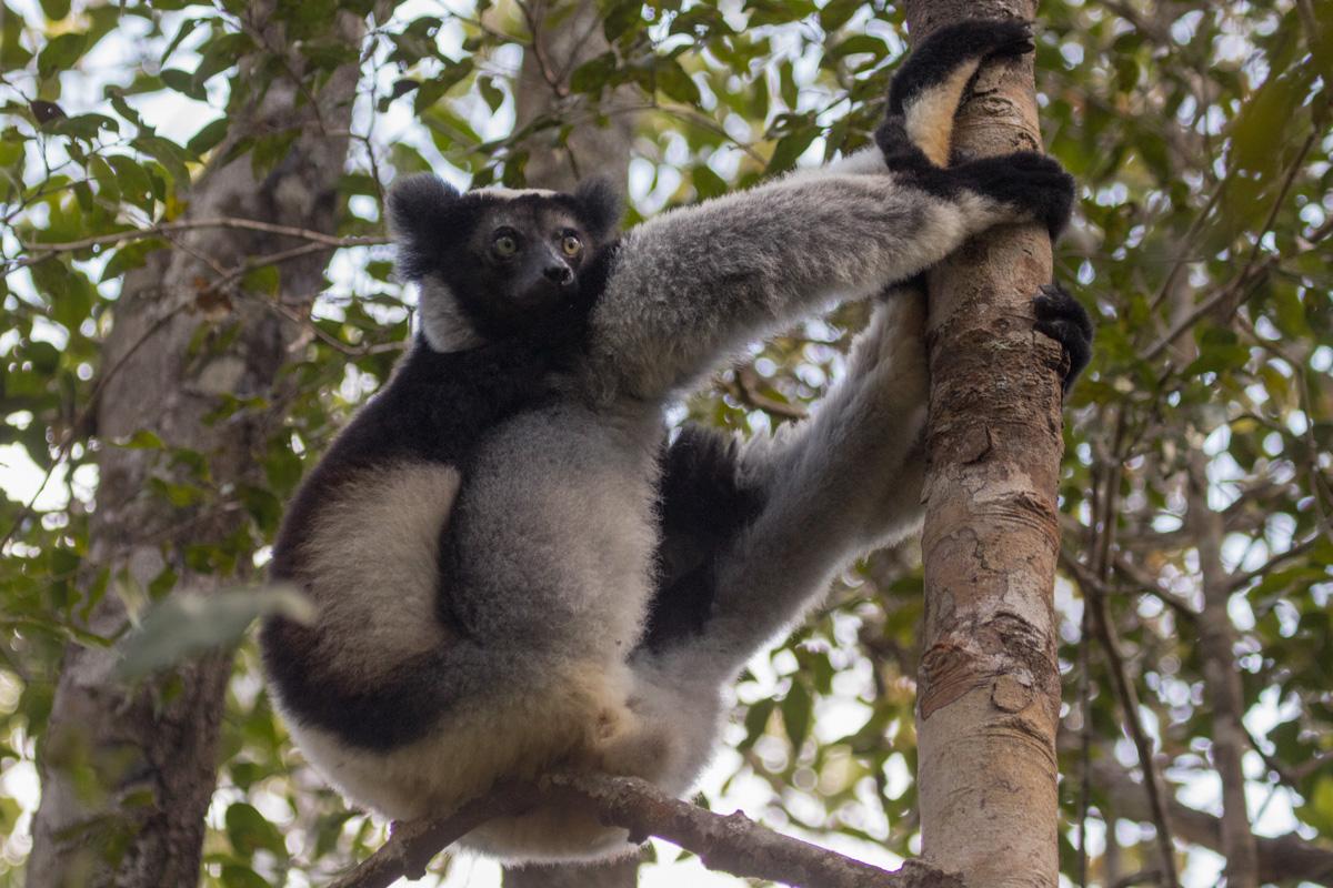 Indri, Andasibe-Mantadia, Madagascar