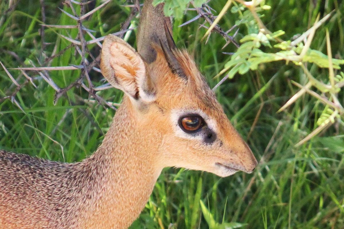 Kirks Dik-Dik in Etosha National Park