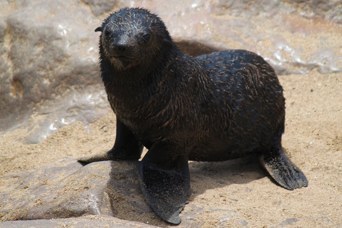 Baby Fur Seal, Cape Cross - Namibia