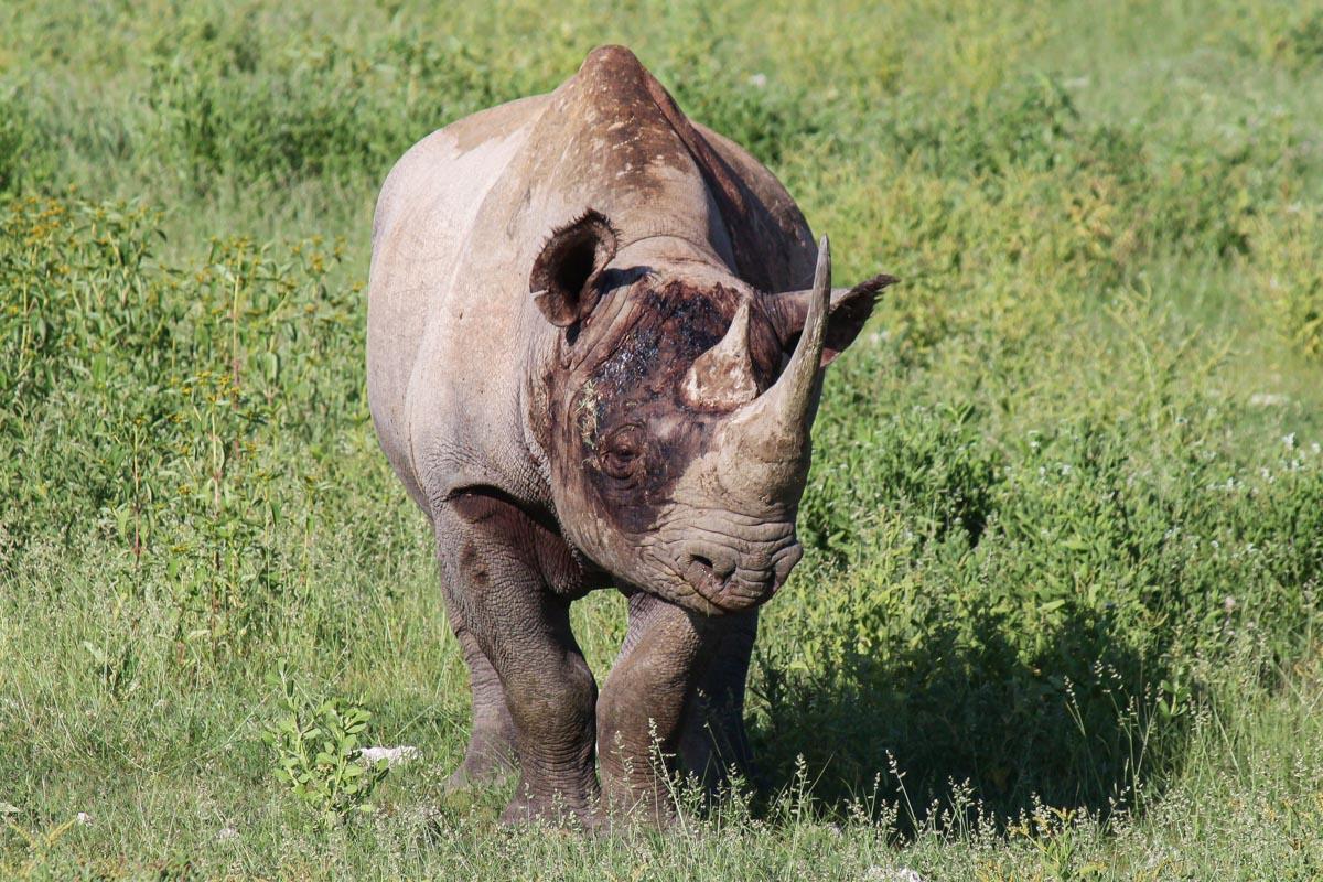 Black Rhino at Etosha National Park
