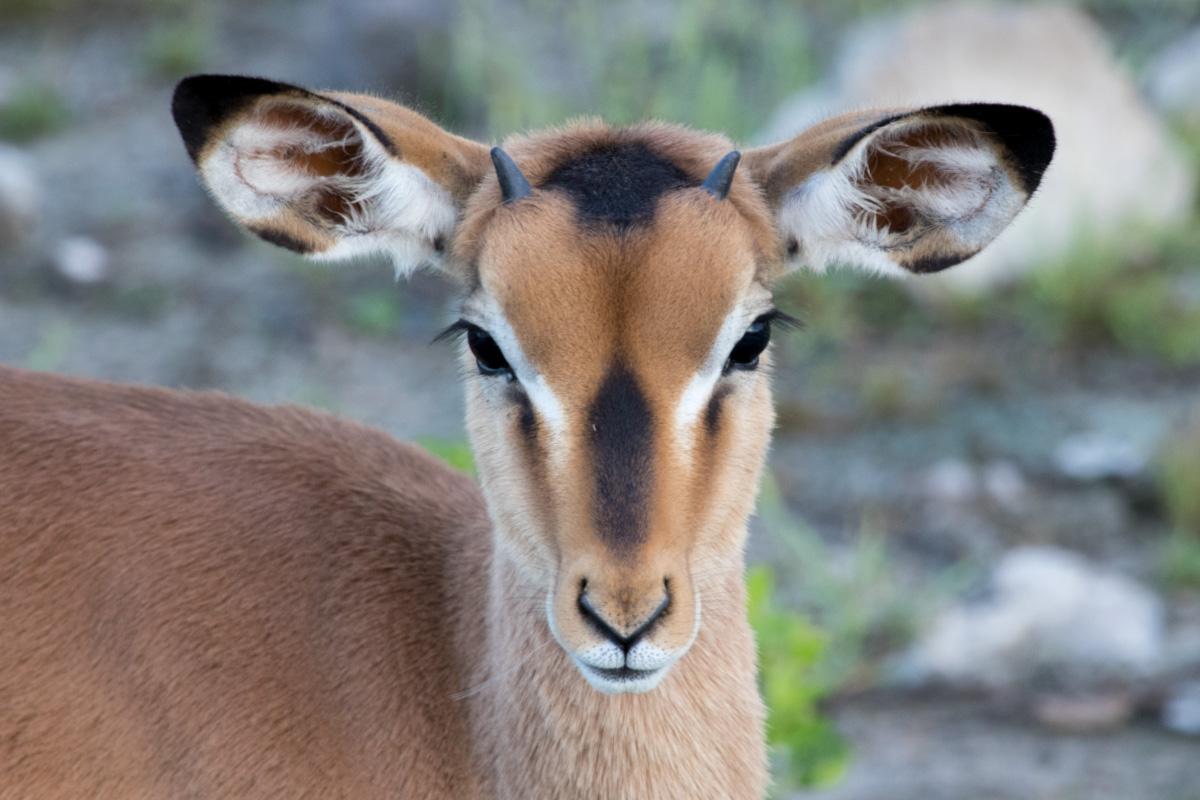 Black-faced Impala, Etosha National Park