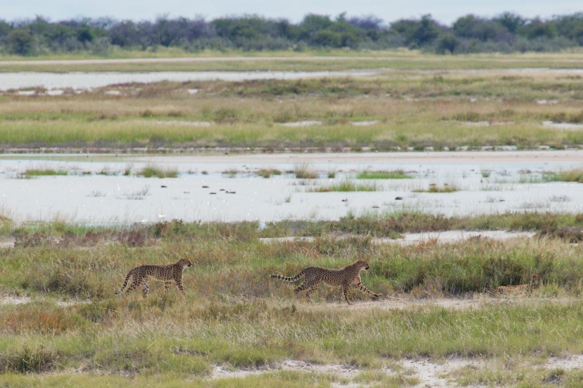 Etosha National Park, Cheetah