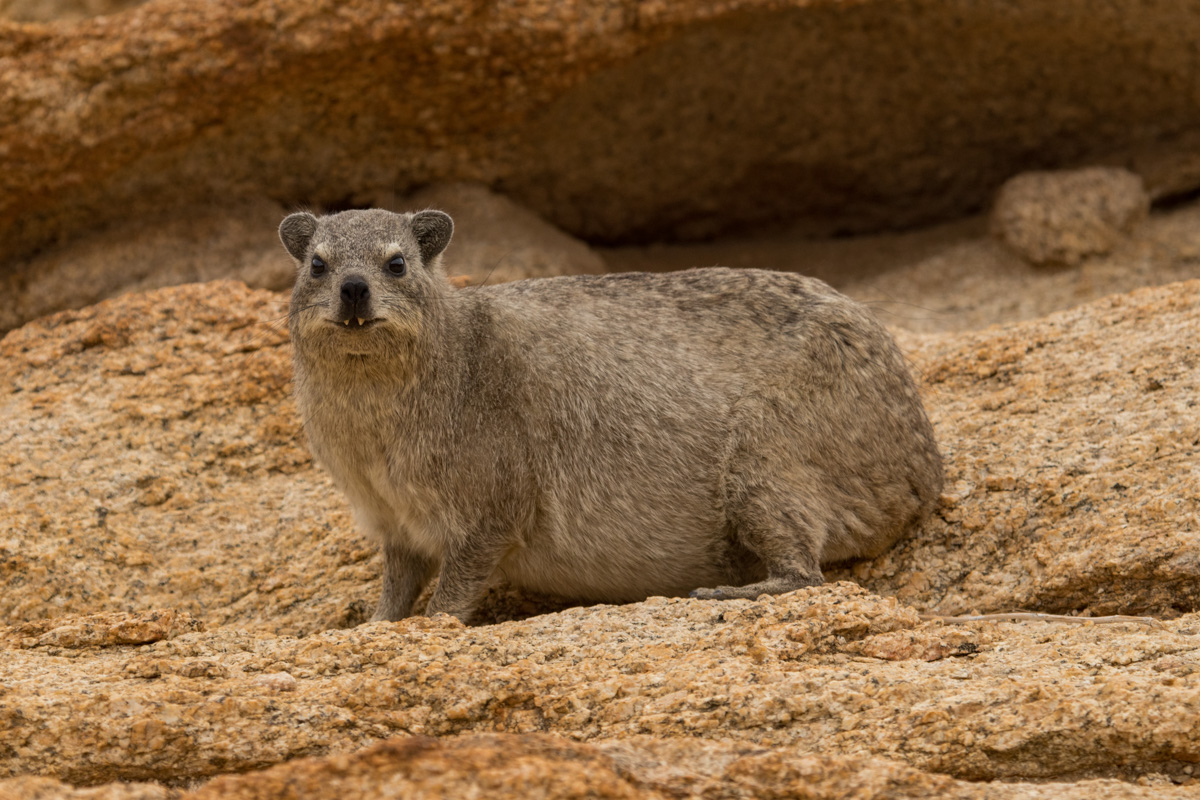 Namib-Naukluft National Park Rock Hyrax