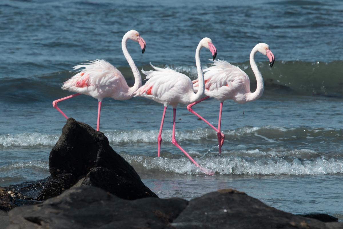Flamingo's at Big Bay (Grosse Bucht)