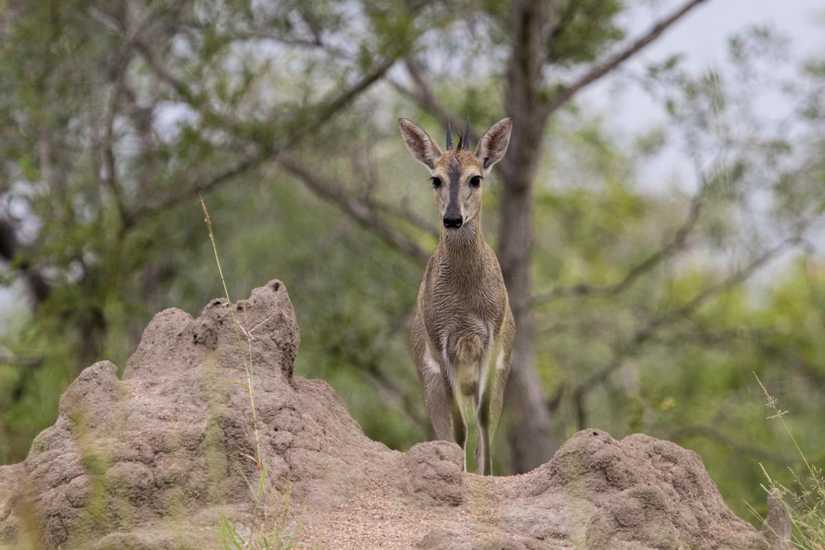Common Duiker, Kruger National Park