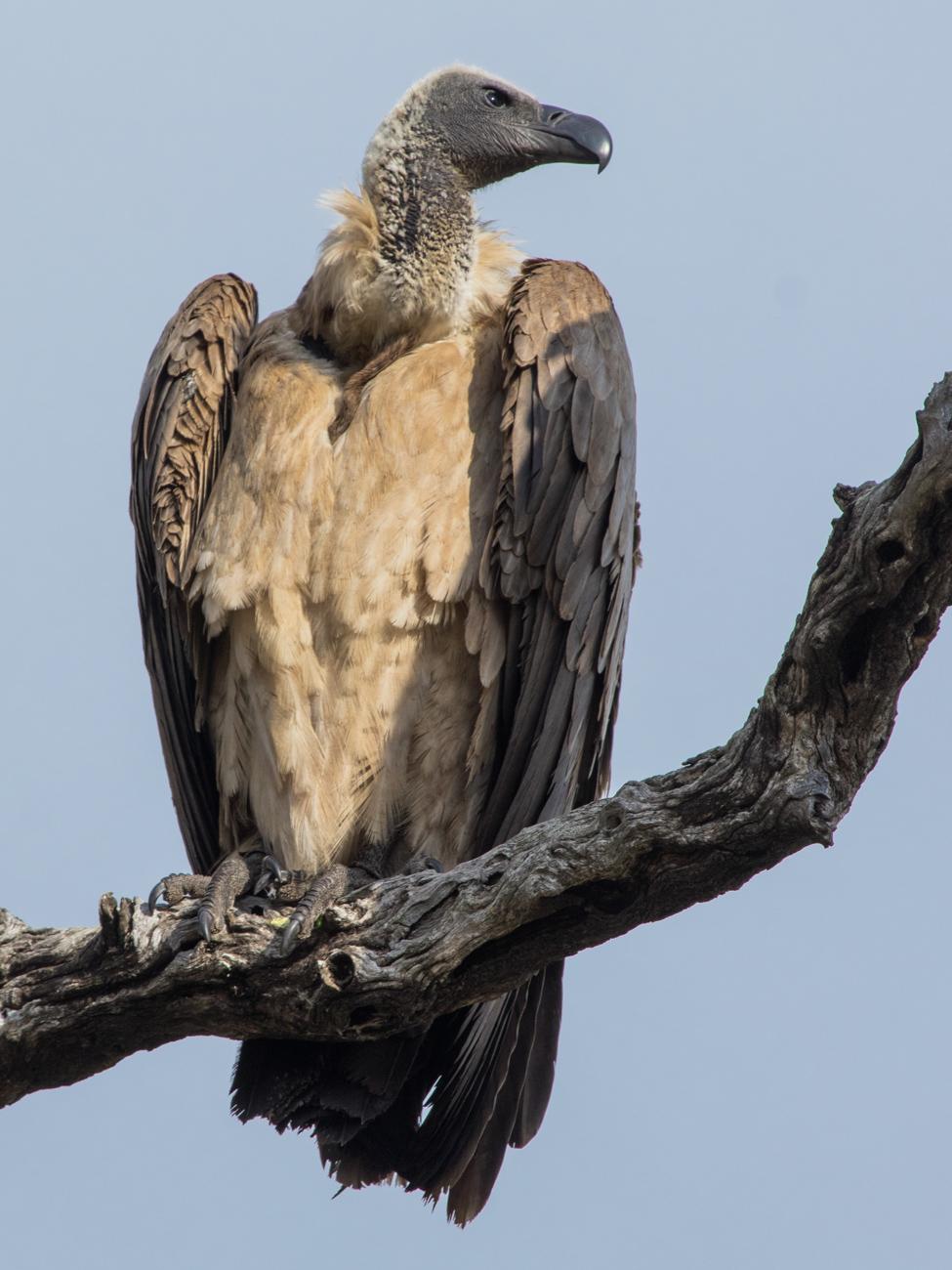 Vulture, Kruger National Park
