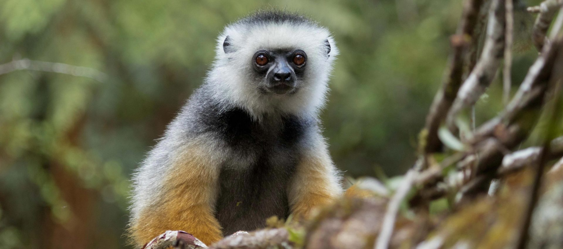 Diademed Sifaka, Madagascar
