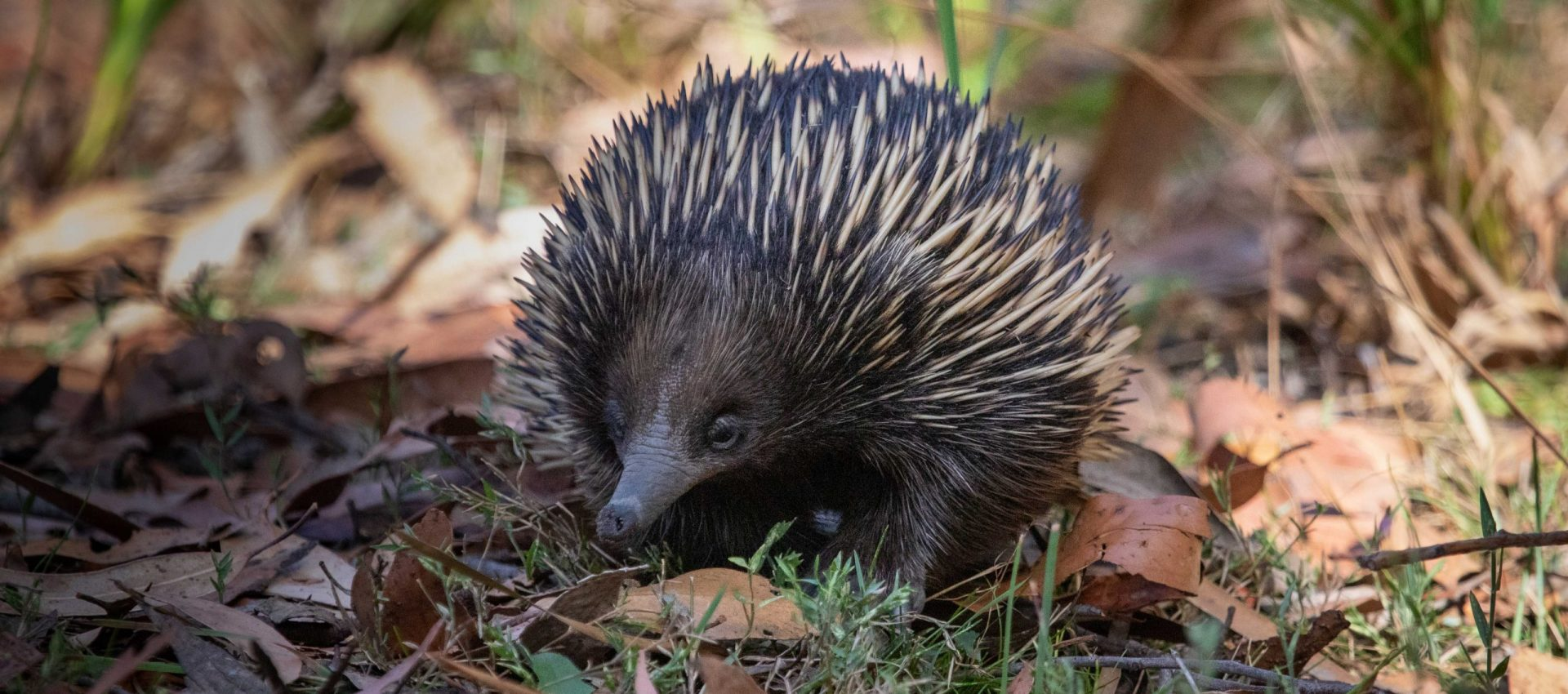 Echidna in the Grampians, Vic - Australia