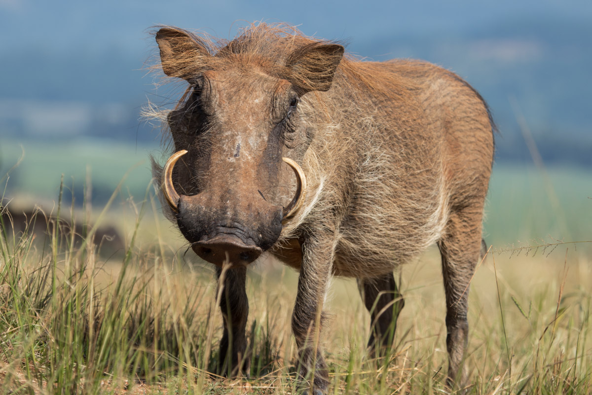 Mlilwane Wildlife Sanctuary - Warthog