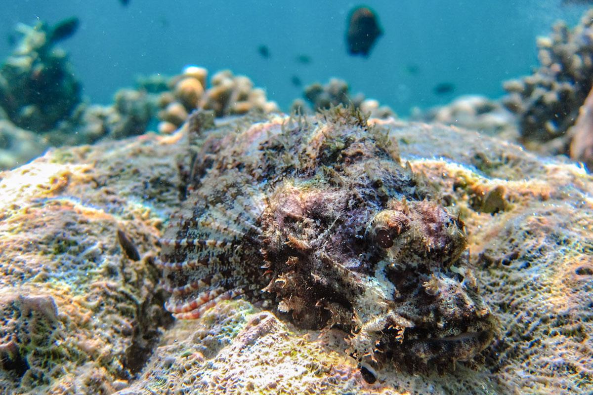 Scorpion Fish, Sailing the Maldives