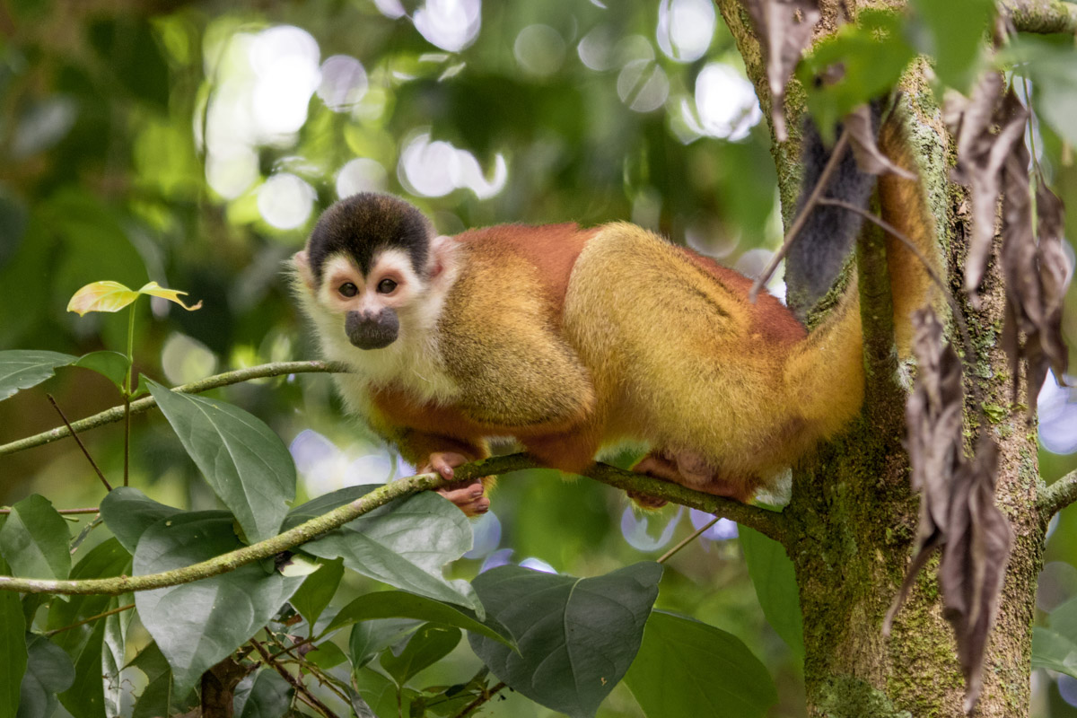 Central American Squirrel Monkey - Corcovado National Park