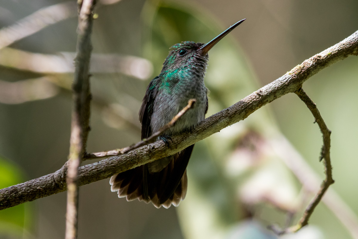 Charming Hummingbird - Costa Rica