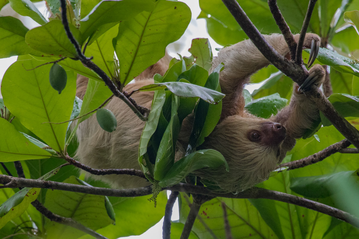 Two-Toed Sloth - Manuel Antonio National Park - A Complete Guide