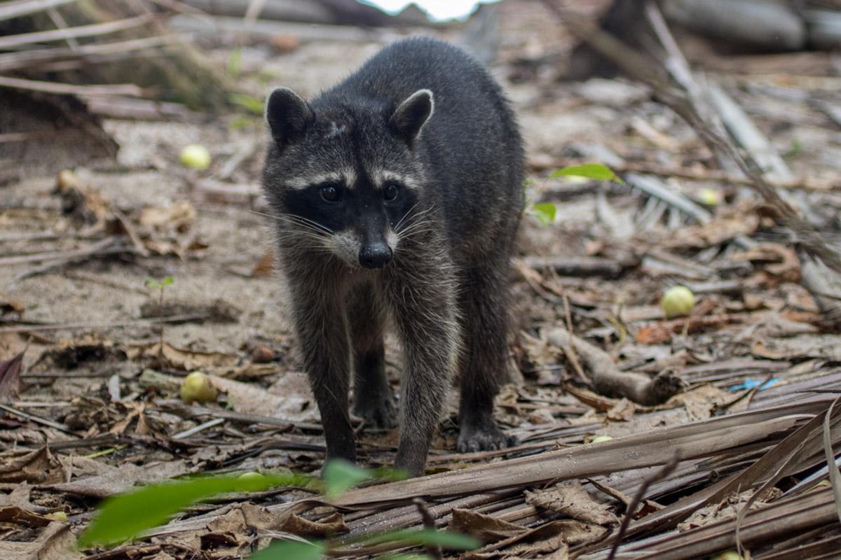 Crab-eating Raccoon - Manuel Antonio National Park