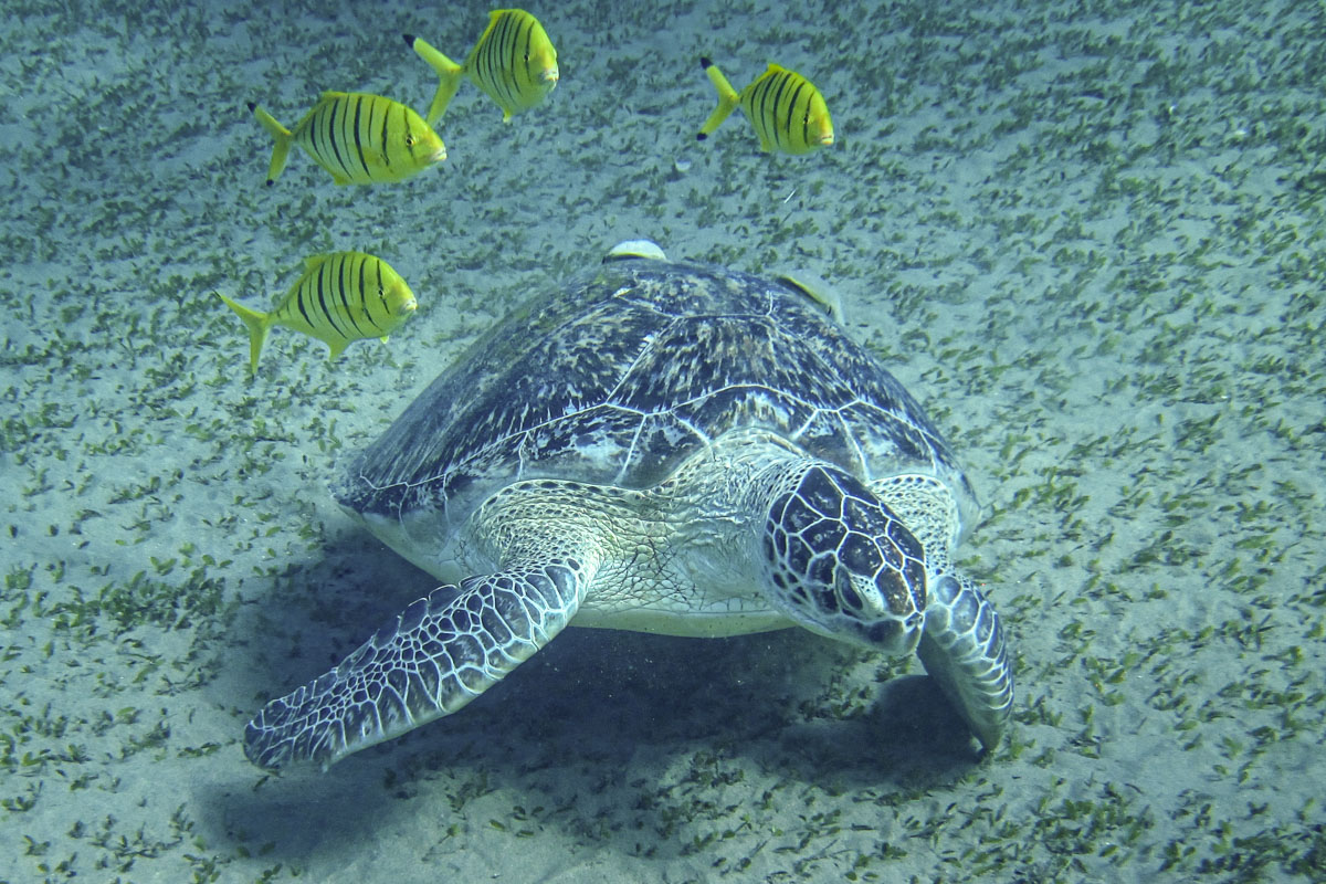 Snorkelling with turtles - Marsa Mubarak The Red Sea Egypt