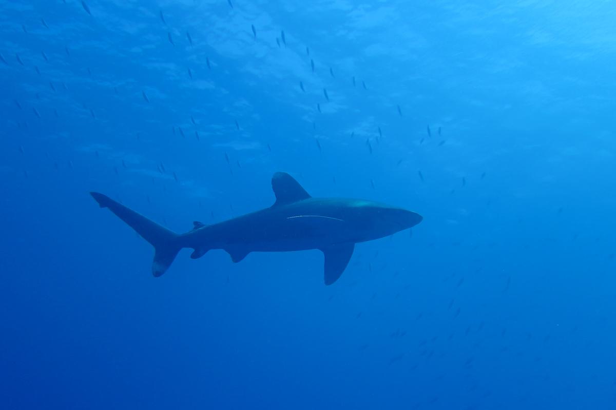 Oceanic Whitetip Shark - Elphinstone The Red Sea Egypt