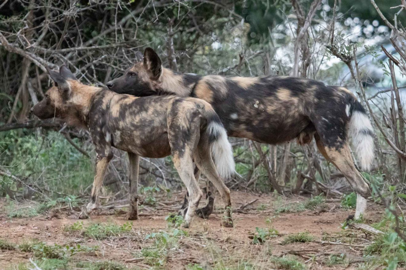 Wild Dogs - Kruger National Park, things to do in South Africa