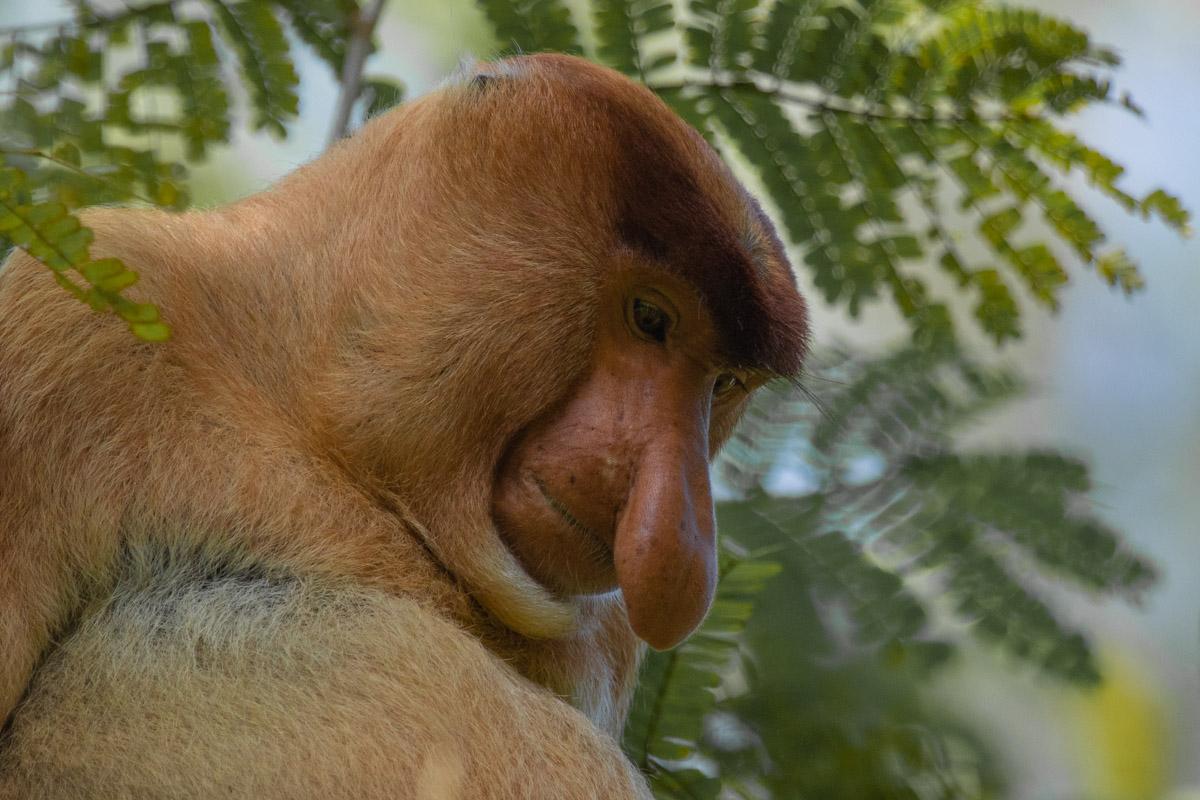 Proboscis Monkey, Kinabatangan River